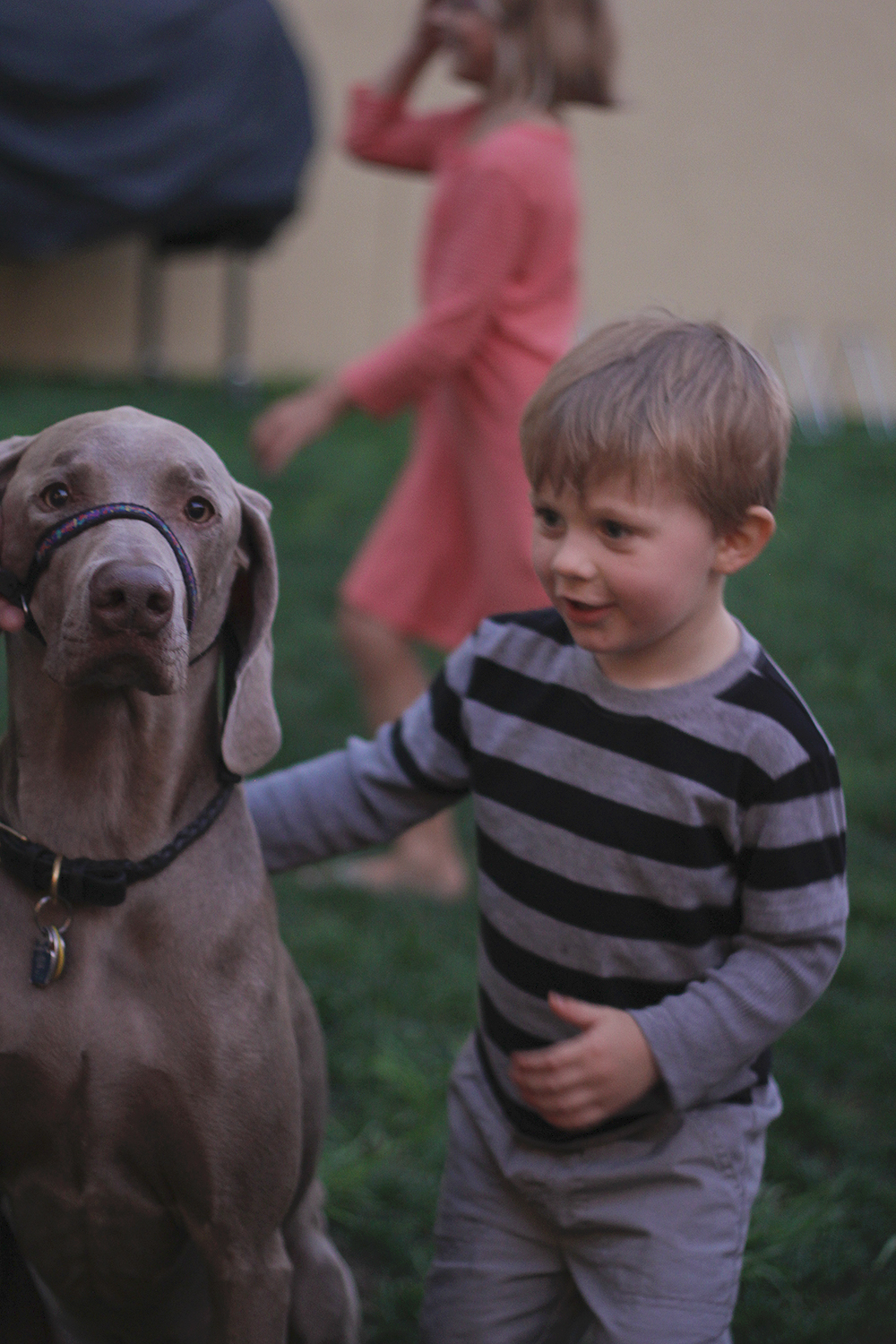 dog weimaraner dogs and kids gentle leader Stormcloud Brewery Stormcloud Brewing Company Frankfort Michigan